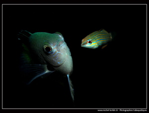 Damsel fish... :O)... by Michel Lonfat 